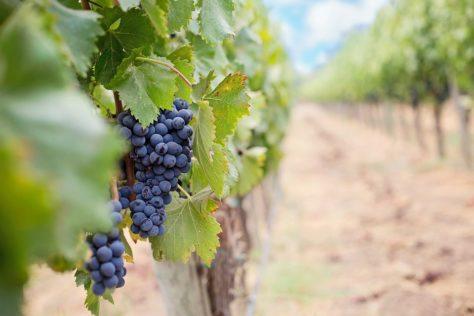 Organic wine benefits